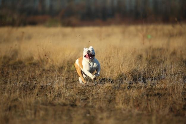 Buldog angielski działa do przodu na polu i patrząc na kamery