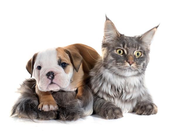 Buldog angielski szczeniak i kot