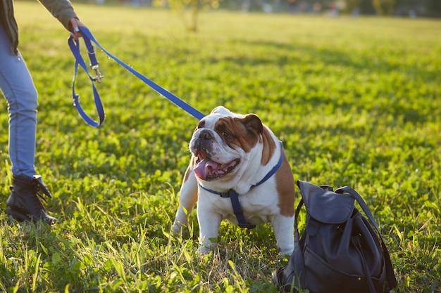 Buldog brytyjski grać w parku