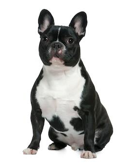 Buldog francuski, 1 i pół roku. portret psa na białym tle