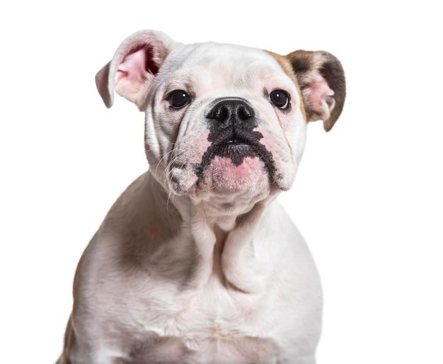 Buldog francuski, 5 miesięcy, z bliska na białym tle