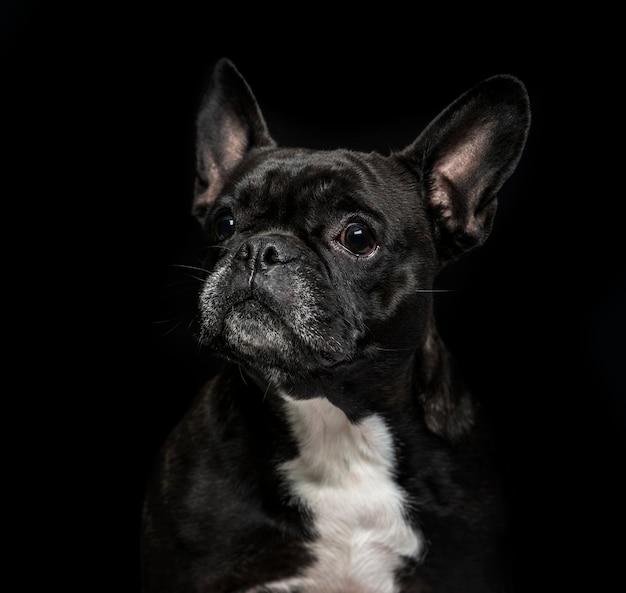 Buldog francuski (6 lat) na czarnej powierzchni