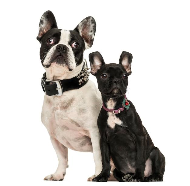 Buldog francuski dla dorosłych i puppy, patrząc od hotelu, na białym tle
