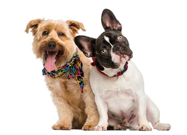 Buldog francuski i mieszaniec pies siedzi obok siebie, na białym tle
