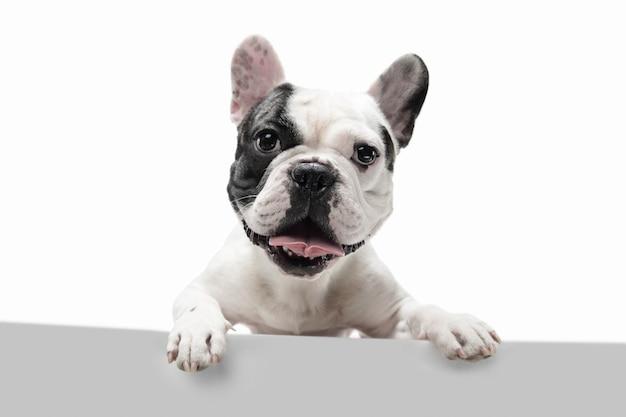 Buldog francuski młody pies pozuje uroczego figlarnego biało-czarnego psa na białym