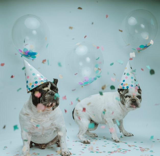 Buldog francuski obchodzi urodziny z balonami i konfetti