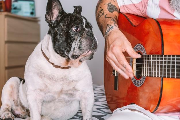 Buldog francuski patrz, jak gra na gitarze