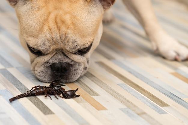 Buldog francuski patrząc na gigantyczne skorpiony leśne czołgające się na podłodze w pomieszczeniu.