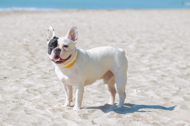 Buldog francuski stanąć na piaszczystej plaży