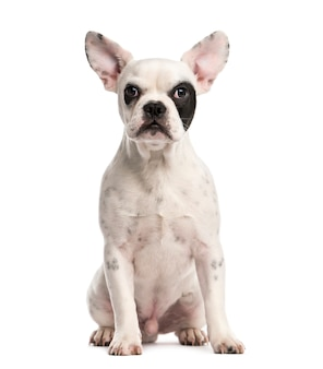 Buldog francuski szczeniak przed białą ścianą