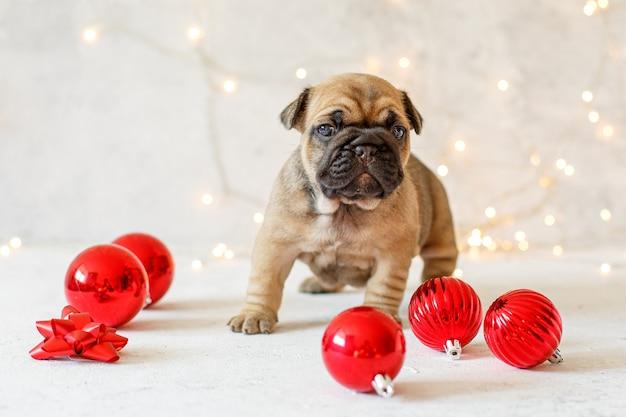 Buldog francuski szczeniak w ozdoby świąteczne