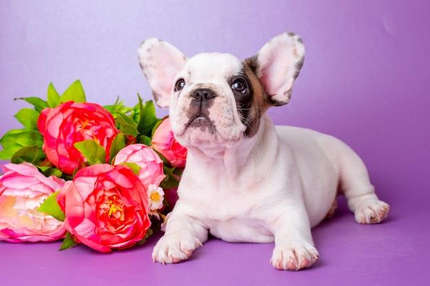 Buldog francuski szczeniak z kwiatami na fioletowym tle