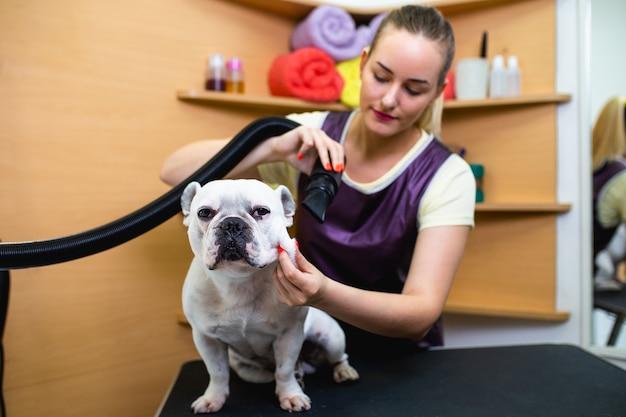 Buldog francuski w salonie fryzjerskim.
