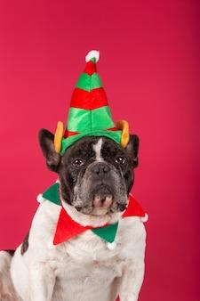 Buldog francuski w świątecznej czapce i śmiesznych okularach przeciwsłonecznych na czerwonej ścianie