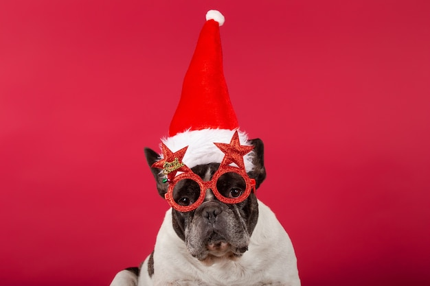 Buldog francuski w świątecznej czapce i śmiesznych okularach przeciwsłonecznych na czerwono
