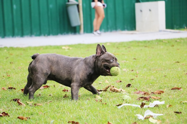 Buldog gra w parku. słoneczny dzień. pies bawi się piłką.