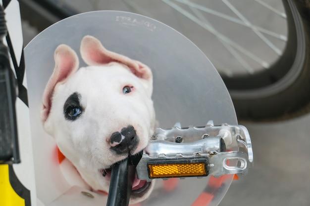 Bull terrier z podbitym okiem gryzie pedał rowerowy