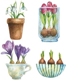Bulwiaste kwiaty w doniczkach. tulipany przebiśniegi, żarówki.