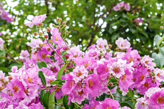 Bungor, lagerstroemia floribunda jack, lagerstroemia calyculata kurz.
