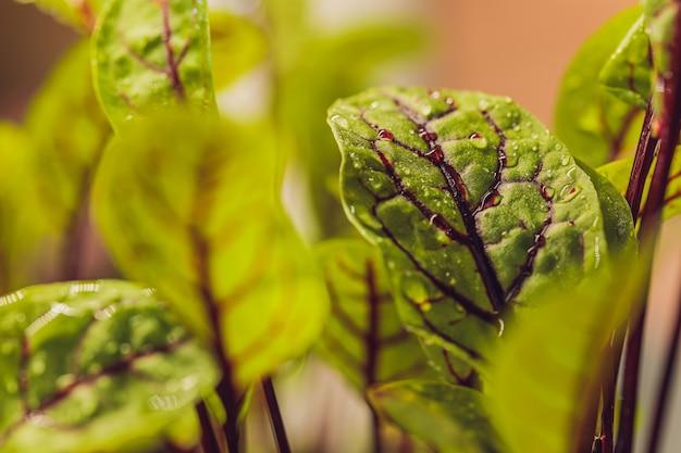 Burak ćwikłowy, świeże kiełki i młode liście
