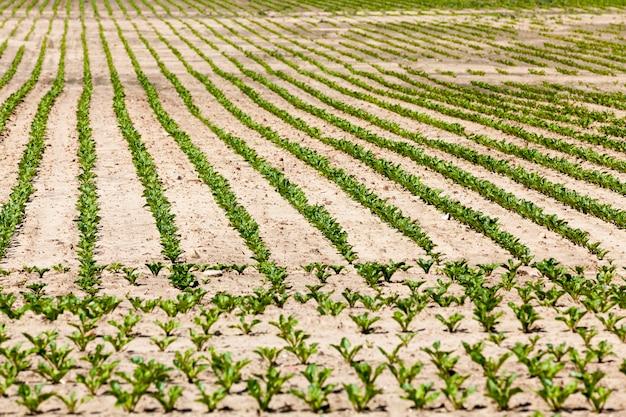 Buraki na polu rolnym