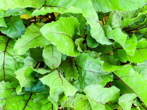 Buraków topy świeżych liści makro tekstury, zdjęcie w wysokiej rozdzielczości. streszczenie tło warzywo.