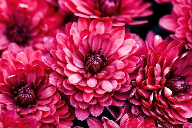 Burgundia płatki dalia makro, kwiatowy streszczenie tło. bliska dalii flowes, chryzantemy na tle, nieostrość...