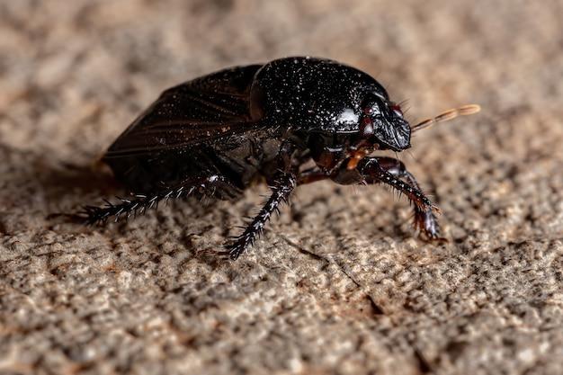 Burrowing bug z podrodziny cydninae
