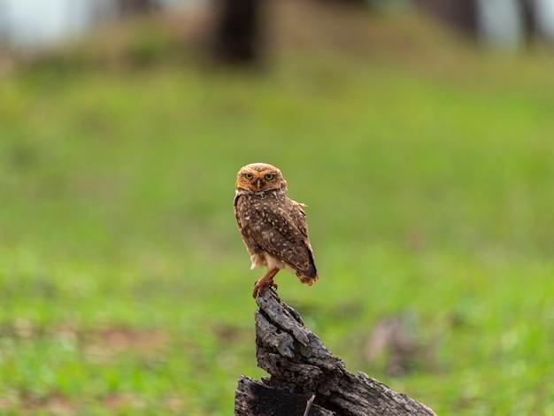 Burrowing owl, zwana także field caburet
