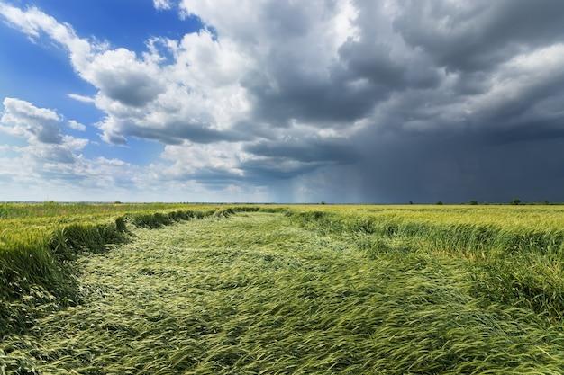 Burza z piorunami na polu pszenicy, letnie rolnictwo krajobrazowe