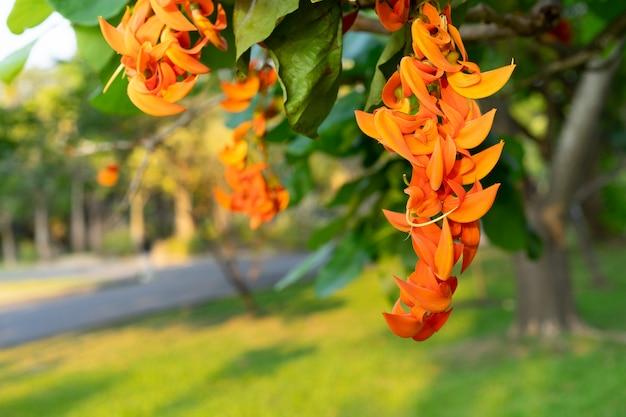 Butea monosperma lub bastard teak kwitnie kwiat na drzewie w parku