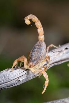 Buthus skorpion (scorpio occitanus)