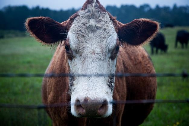 Bydła mlecznego na polu otoczonym zielenią