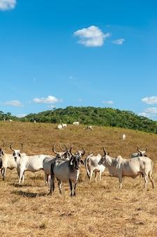 Bydło gospodarskie na polu w stanie alagoinha paraiba w brazylii
