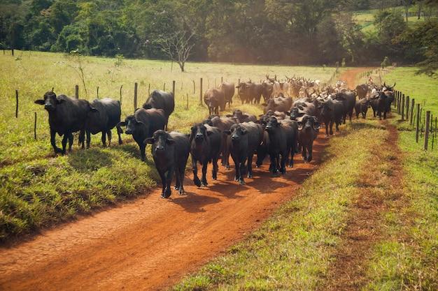 Bydło krów z rogami chodzące po polnej drodze. słoneczny dzień.