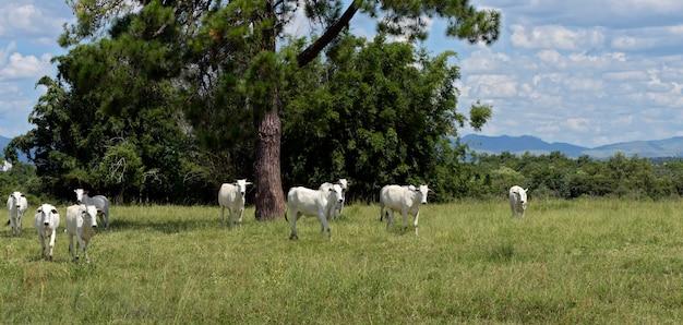 Bydło nellore steruje na zielonych pastwiskach