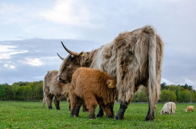 Bydło wyżynne, cielę czerpie mleko od matki. zielona łąka, pasą się świeżą trawę.