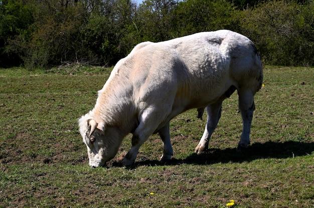Byk jedzący trawę na zielonej łące