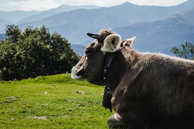 Byki i krowy żyjące w górach w wolności