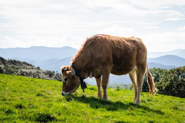 Byki i krowy żyjące w wolności w górach
