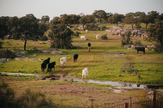 Byki na wolności przez pastwiska estremaduryura