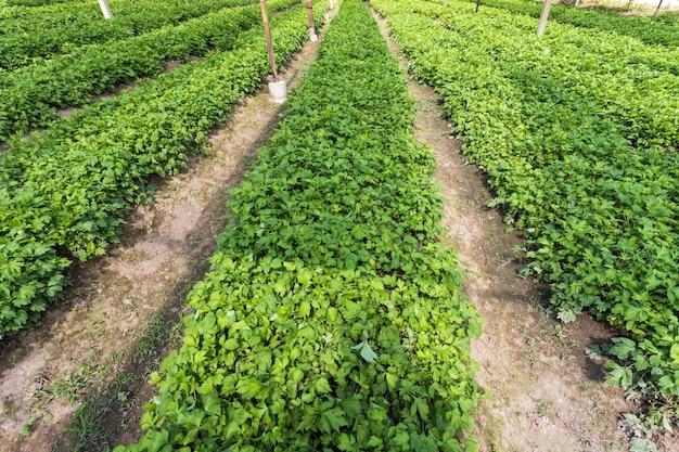 Bylica pospolita (artemisia lactiflora, guizhou) w ogrodzie warzywnym ma właściwości lecznicze