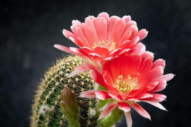 Cactus flower pictures piękne kwitnące w kolorowe.