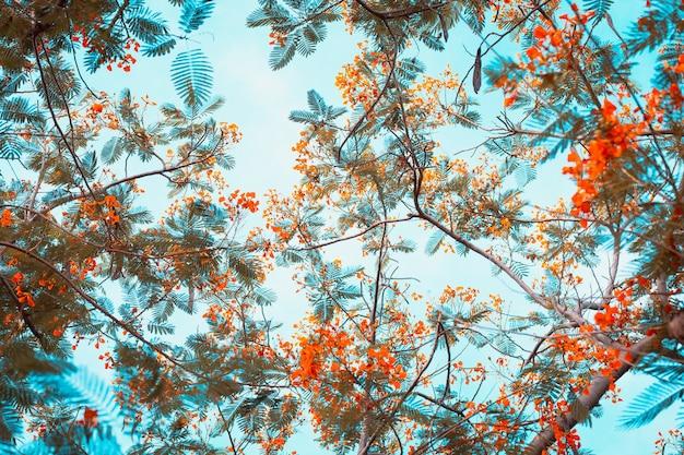 Caesalpinia pulcherrima kwiat słodki filtr zdjęcie