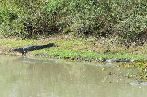 Caiman yacare na brazylijskich terenach podmokłych