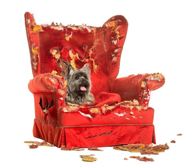 Cairn terrier dyszy leżąc na zniszczonym fotelu