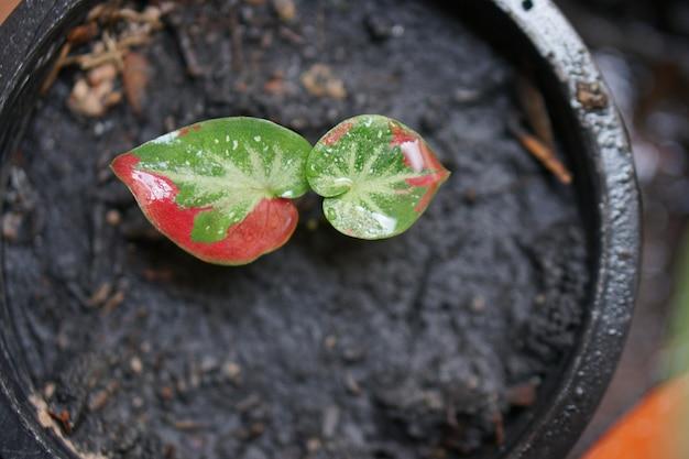 Caladium bicolor chaichon w doniczce świetna roślina do dekoracji ogrodu