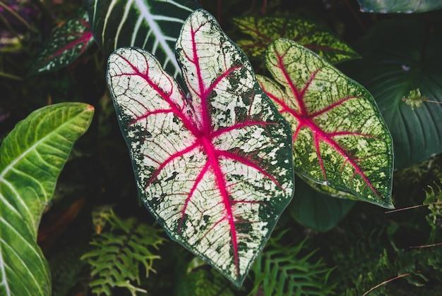 Caladium bicolor pozostawia drzewo z krytym słabym oświetleniem i ciemnym cieniem tła.