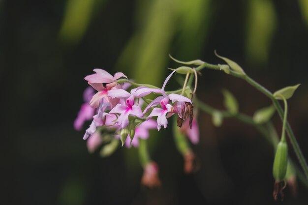 Calanthe orchid (calanthe vestita) kwitnąca w tropikalnym ogrodzie