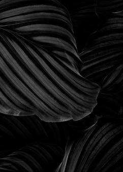 Calathea orbifolia naturalne liście tło